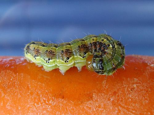 lagarta na cenoura